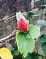 Hibiscus fragilis Mauritius bud.jpg