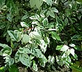 Hibiscus rosa-sinensis1 ies.jpg