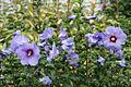 Hibiscus syriacus Blue bird.jpg