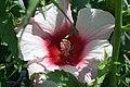 Hibiscus x moscheutos Lady Baltimore 1zz.jpg