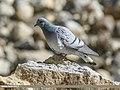 Hill Pigeon (Columba rupestris) (33847492192).jpg