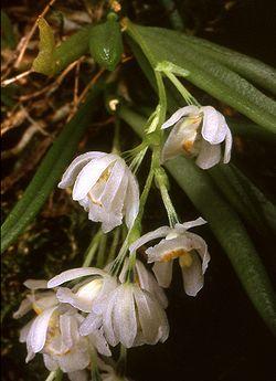 Hintonella mexicana Orchi 002.jpg