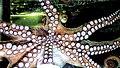 Hobotnica.jpg