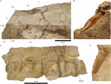 Closeups of the Irritator challengeri holotype's upper jaw and teeth