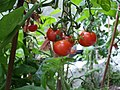 Home grown tomatoes, Omagh - geograph.org.uk - 963629.jpg