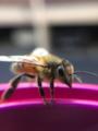Honey bee.png