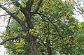 Honey locust tree, Morristown, NJ IMG 6472.JPG