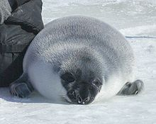 Hooded seal pup (next to researcher) on ice in the Gulf of St. Lawrence Hooded seal crop.JPG