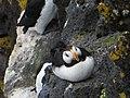 Horned puffin (9151950615).jpg