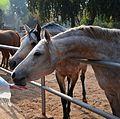 Horses at the remount depot.jpg