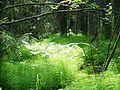 Horsetails at Skuleskogen National Park.jpg