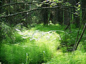 Skuleskogen National Park - Image: Horsetails at Skuleskogen National Park