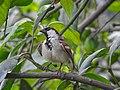 House sparrow 004.jpg