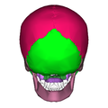 Human skull - posterior view2.png