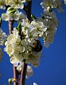 Hummel auf Blüte Hafer-Pflaume.JPG