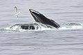 Humpback Whale with Herring Gull Stellwagen Banks Marine Sanctuary (5227045149).jpg
