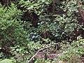 Hydrangea macrophylla (Thunb.) Ser. (AM AK290485).jpg