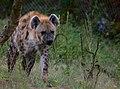 Hyena IMG 9649 (50573208497).jpg