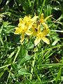 Hypericum richeri001.jpg