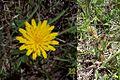 Hypochaeris variegata.jpg
