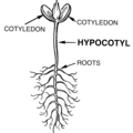 Hypocotyl (PSF).png