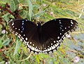 Hypolimnas bolina - Great Eggfly at Thillankeri 20.JPG