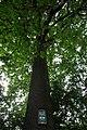 ID 1480 Quercus.jpg
