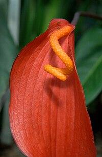 Anthurium andraeanum, rosenkalla