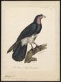 Ibycter americanus - 1825-1834 - Print - Iconographia Zoologica - Special Collections University of Amsterdam - UBA01 IZ18200003.tif