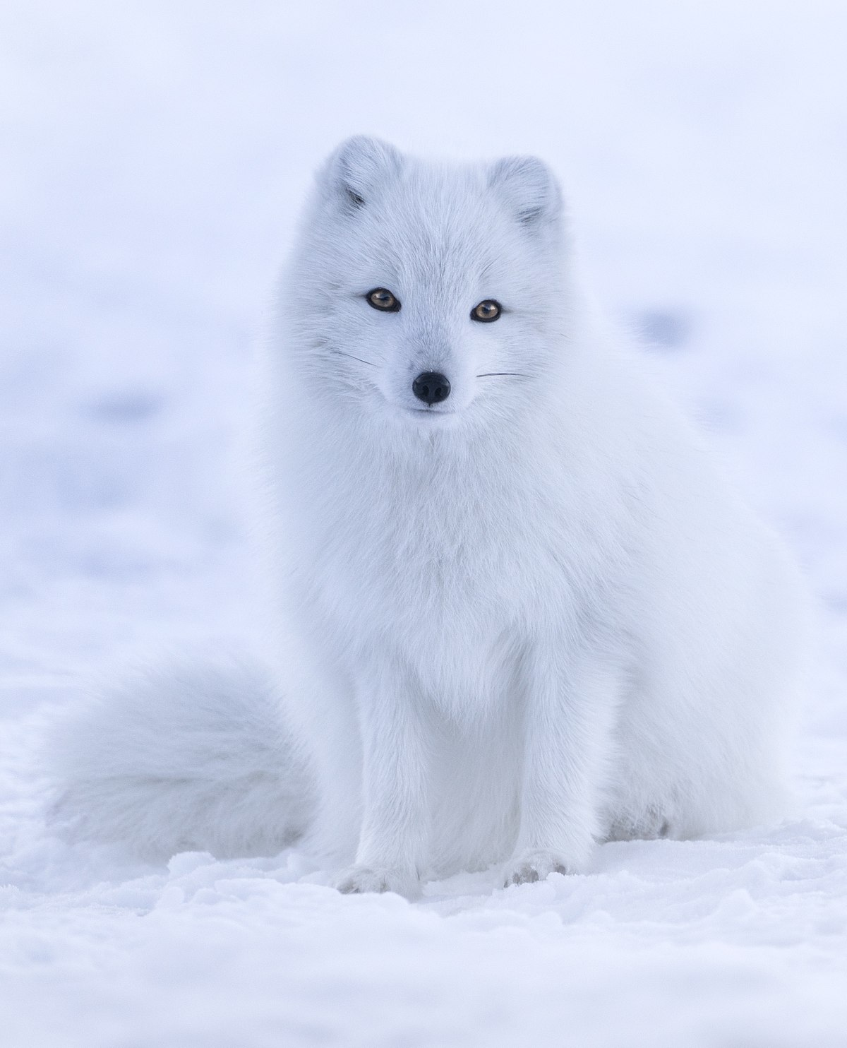 Snow Wolf Facts For Kids