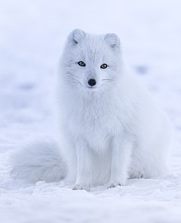 Arctic fox species of mammal