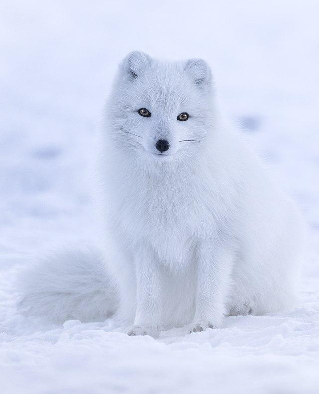 Liška polární - Wikiwand 82e7554fe7