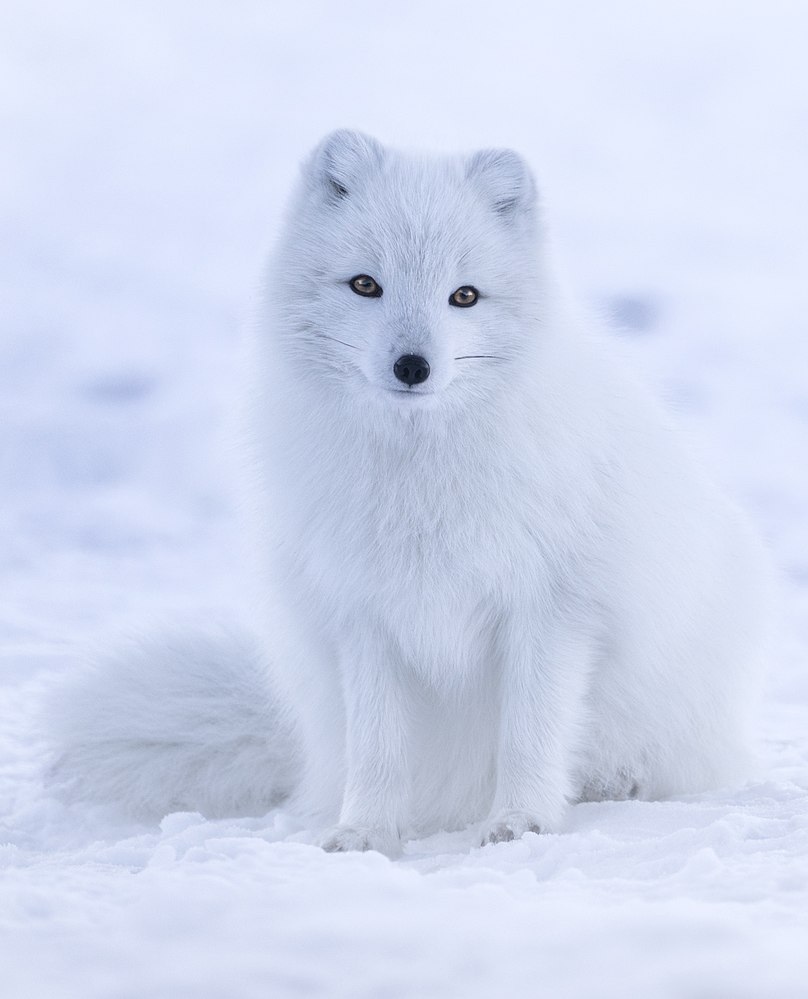 The average litter size of a Arctic fox is 7