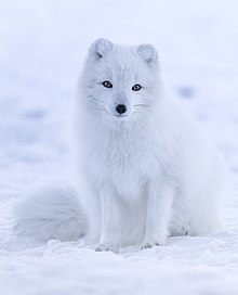 fox suomi
