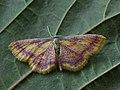 Idaea muricata - Purple-bordered gold - Малая пяденица красноватая (40972770061).jpg