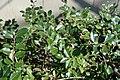 Ilex aquifolium (English holly) (Middletown, Ohio, USA) 3 (49113280963).jpg