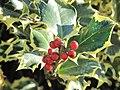 Ilex aquifolium aureomarginata (Jardin des Plantes de Paris) 3.jpg