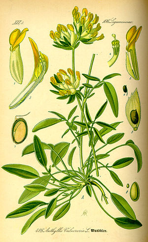 Anthyllis vulneraria - Image: Illustration Anthyllis vulneraria 0