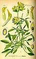 Illustration Anthyllis vulneraria0.jpg