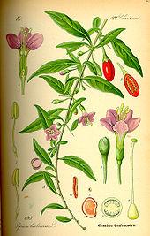 Chervis (Sium sisarum) et autres plantes oubliées. 170px-Illustration_Lycium_barbarum0