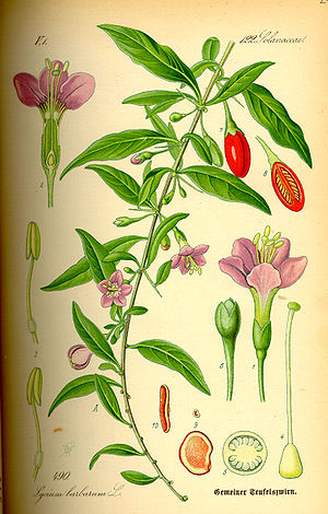 Lycium barbarum - Lycium barbarum illustration from Flora von Deutschland, Österreich und der Schweiz, by Prof. Dr. Otto Wilhelm Thomé, 1885, Gera, Germany.