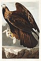 Illustration from Birds of America (1827) by John James Audubon, digitally enhanced by rawpixel-com 181.jpg
