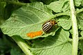 Imago of Colorado potato beetle on leaf with eggs.jpg