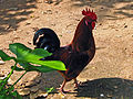 India - Wildlife - 007 - Rooster (2068023801).jpg
