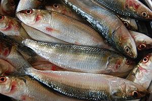 Indian oil sardine - Indian oil sardine