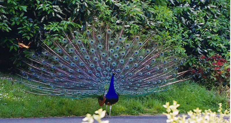 File:Indian Peafowl.jpg