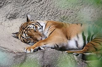 Indochinese tiger - Image: Indo Chinese Tiger 045