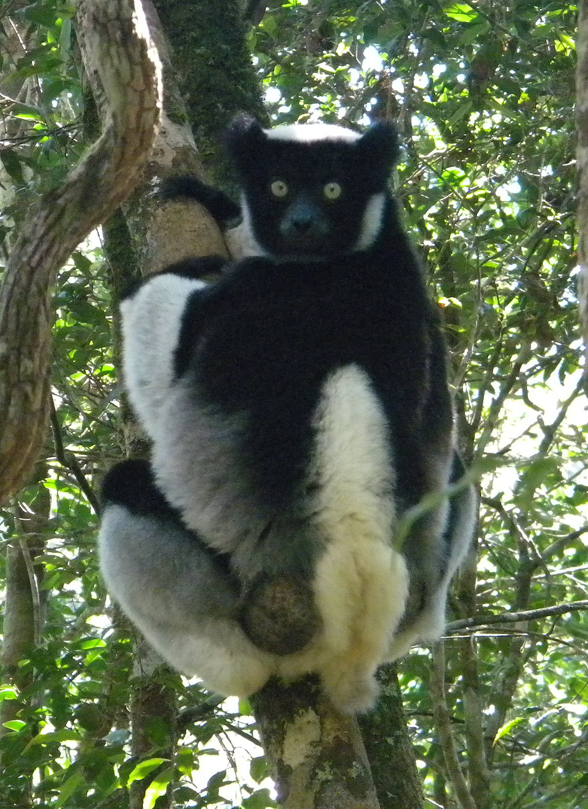 primates observation spider monkey and sifaka essay