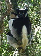 A medium-sized lemur clings to a tree while looking over its shoulder. It has a very short tail and its face, hands, and upper back are black while the rest of it is white.