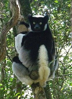 7. Indri